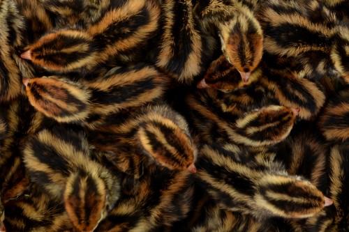 Jumbo brown Coturnix