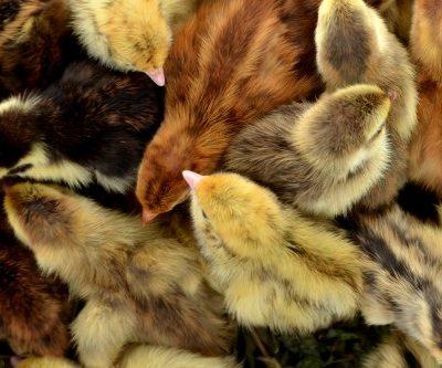Rare Coturnix hatching