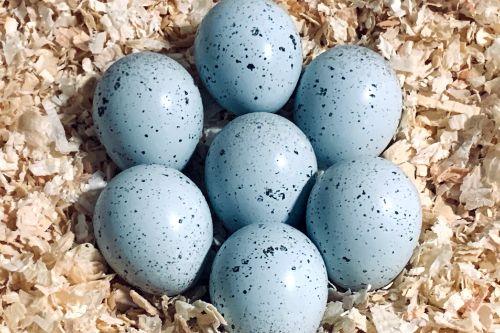 Celedon Layer Quail (Blue-Egger)