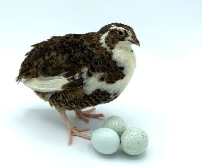 Celedon Layer Quail (Blue-Egger)