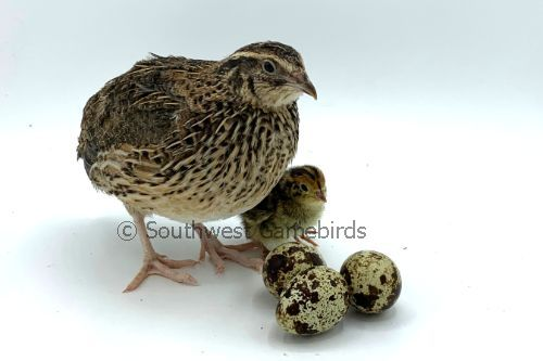 24 Quail Jumbo Coturnix fertile hatching eggs *see below*