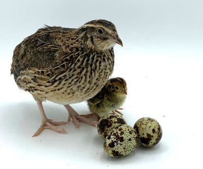 JMF Jumbo brown coturnix quail eggs for sale
