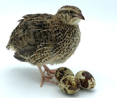 Jumbo brown coturnix quail eggs