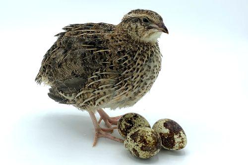 Jumbo brown coturnix quail eggs