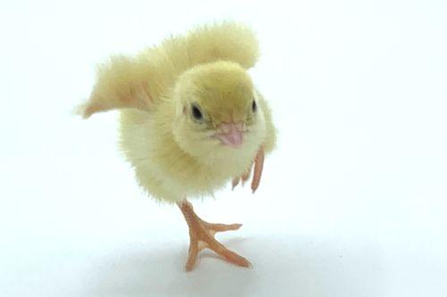 Jumbo White Quail Chick