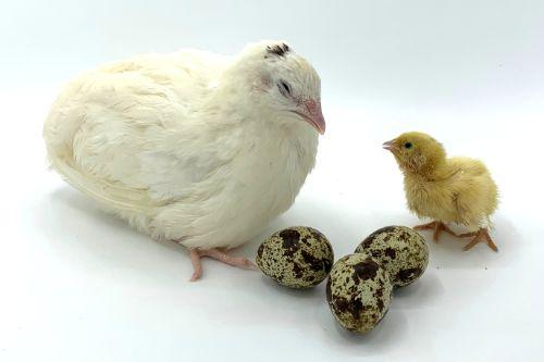 Jumbo White Quail Eggs