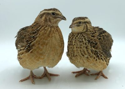 Brown Male (left), Brown Female (right) (1)