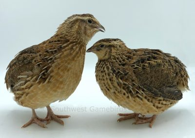 Brown Male (left), Brown Female (right) (2)