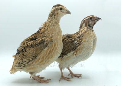 Calico Female (left), Male (right)