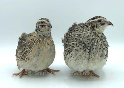 Falb Fee Male (left), Female (right)
