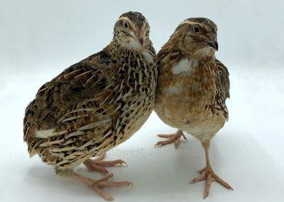 Heterozygous Dotted White Female (left), Male (right)