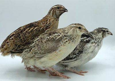 Left to Right, Calico Male, Sandy Calico Male, Fee Calico Female