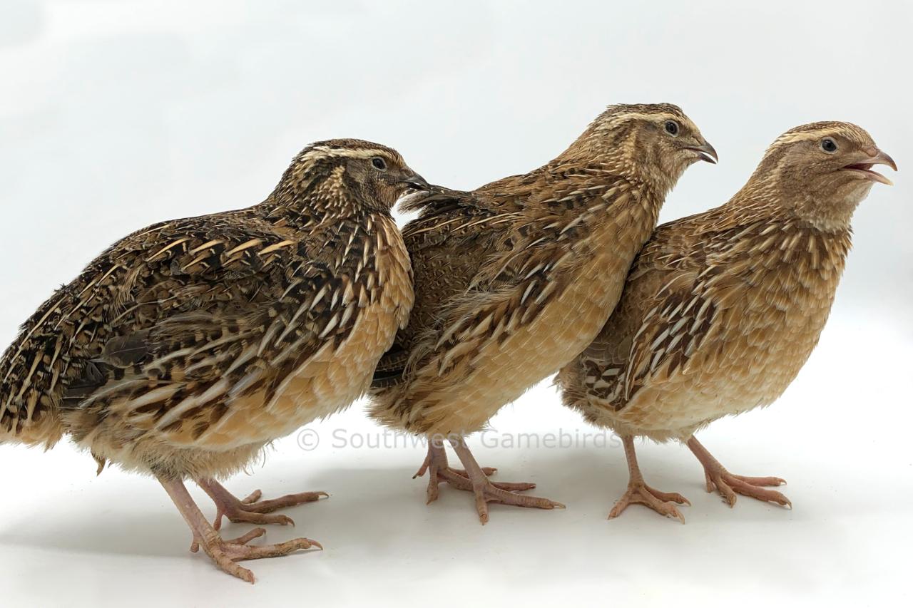 unique chicken breeds