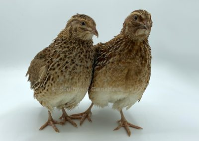 Roux Female (left), Roux Male (right)