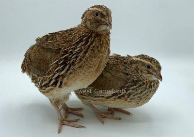 Roux Male (left), Roux Female (right) (2)