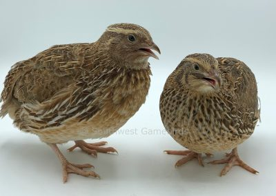 Roux Male (right), Roux Female (right)