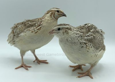 Sandy Calico Male (left), Female (right) (2)